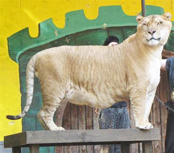 Hercules the Liger is 6 (Six) Feet Tall.
