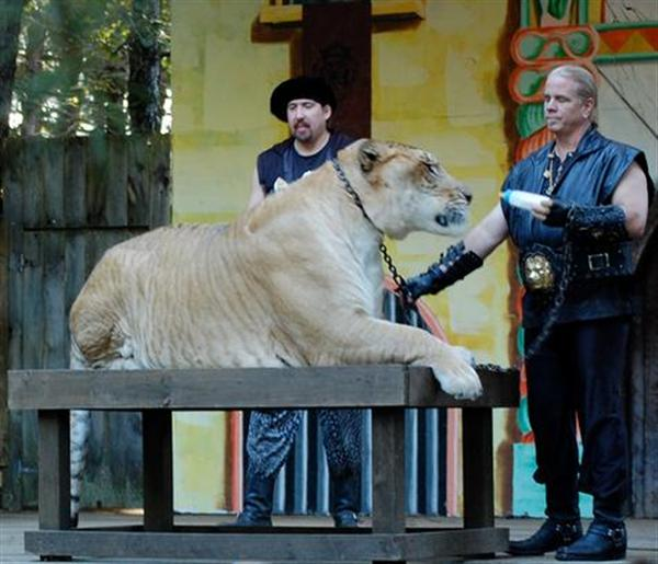 Growth Rate of Hercules the liger. Hercules the liger Grew 1 Pound per day when it was a small cub.