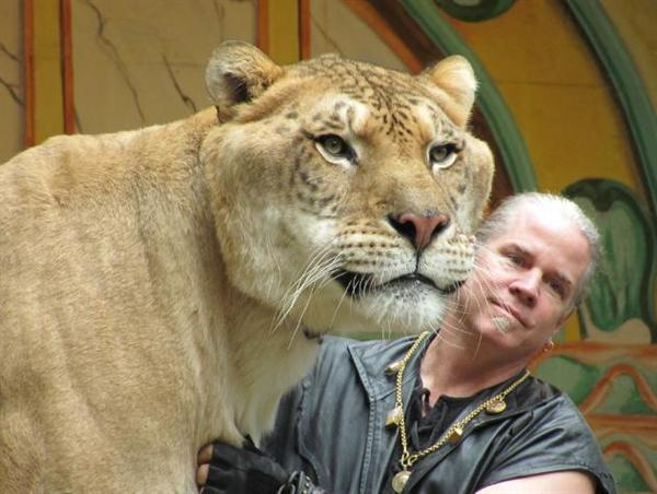 Hercules the liger has a head size equal to that of shoulder size of the man.