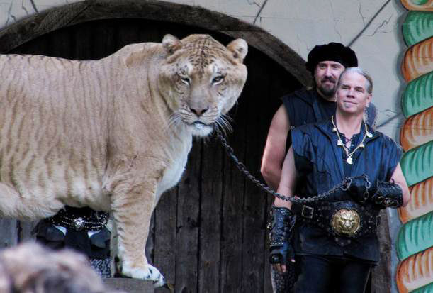 Liger Hercules - The Biggest Cat in the World.