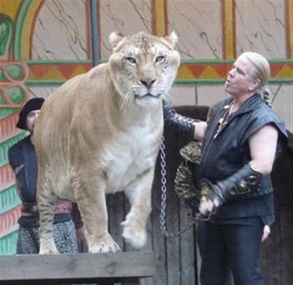 Ten Years old age of Hercules the liger is based upon its participation in the past events.