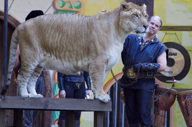 Liger Hercules has proved all the critics wrong who say that ligers have a short lifespan.