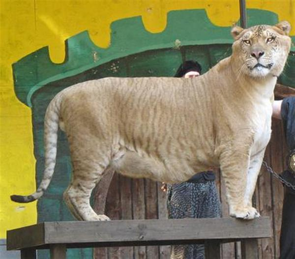 Liger Hercules Brothers' ages are same like that of Hercules the liger.