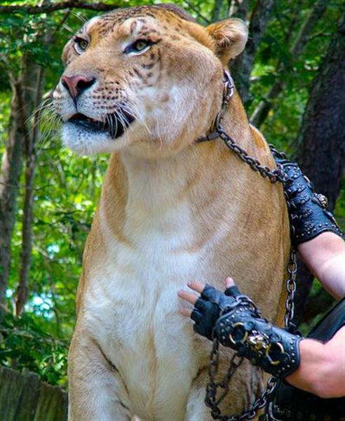 Hercules the Liger as a brand ambassador is responsible for Animal preservation and welfare.