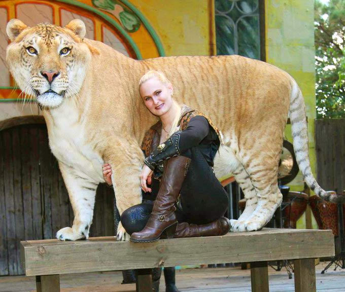 China York & Hercules the Liger