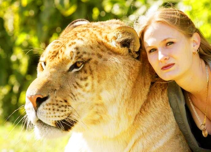 China York is a liger expert and Hercules the liger is very lucky to have care from her.