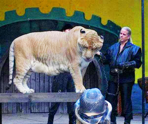 Liger Hercules has a very caring master in the form of Dr. Bhagavan Antle.