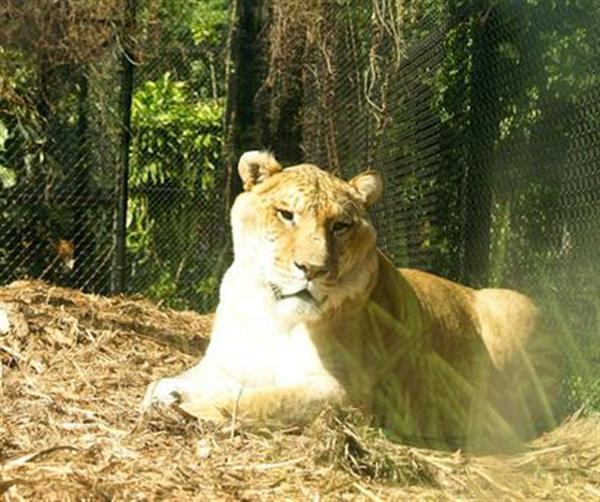 Hercules the liger has the fastest growth rate among carnivore mammals.