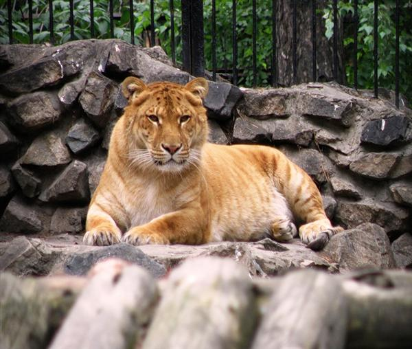 Liger Hercules has a faster growth rate as compared to the female ligers. Male ligers have a faster growth rate.