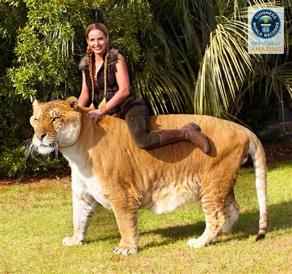 Liger Hercules in Guiness Book of world records 2010 and 2014.