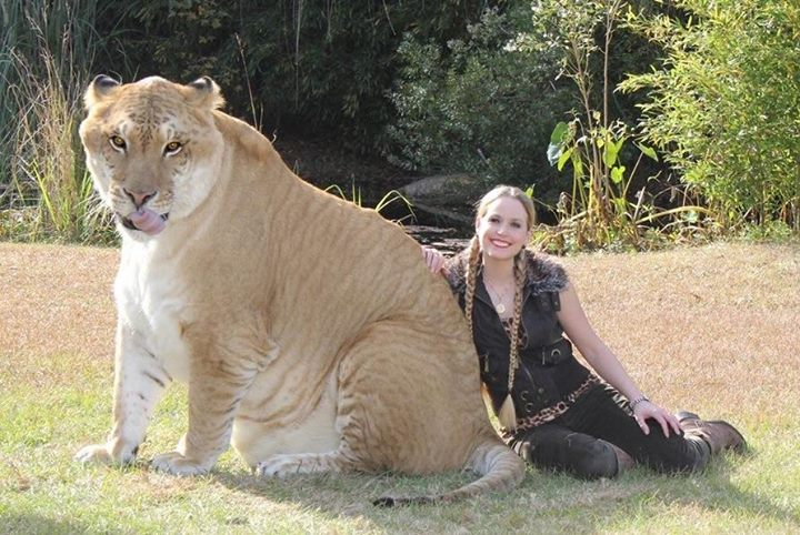 Hercules the liger holds many records apart from appearing within Guinness Book of World Records.