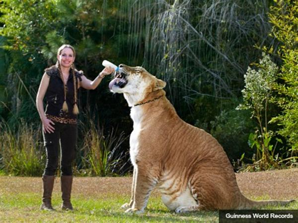 Liger Hercules appeared with Moksha Bybee in the Guinness Book of World Records Pictures.