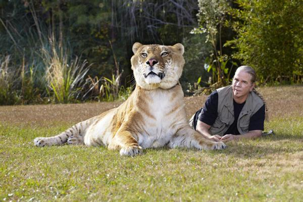 Liger Hercules is a Non-obese liger to appear within Guinness Book of World Records.