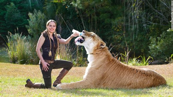 liger hercules appear within guinness book of worlds records hercules is the only liger to - Biggest Cat In The World Guinness 2014
