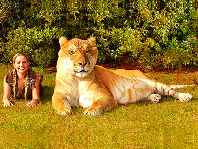 Moksha Bybee with Hercules the liger at Guinness Book of World Records 2014.