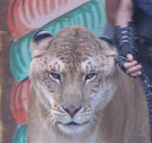 Liger Hercules Head Size is biggest among the carnivore mammals.