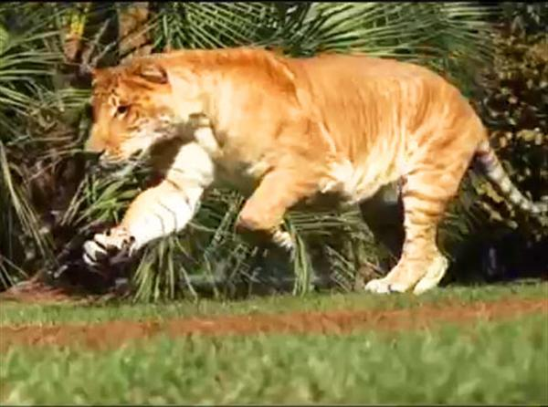 Image Gallery liger jumping