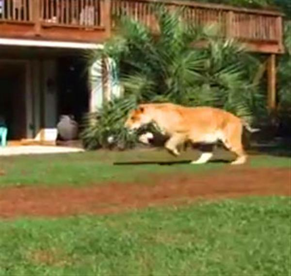 Liger Hercules Leaping Jump and massive force pressure.