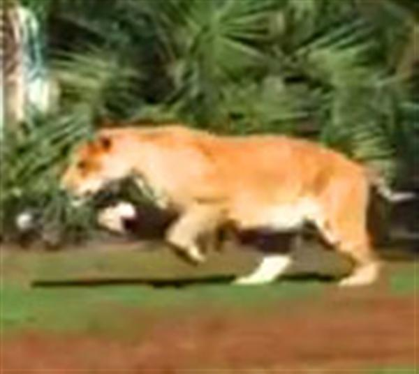 Liger Hercules jump is biggest among all the big cats.