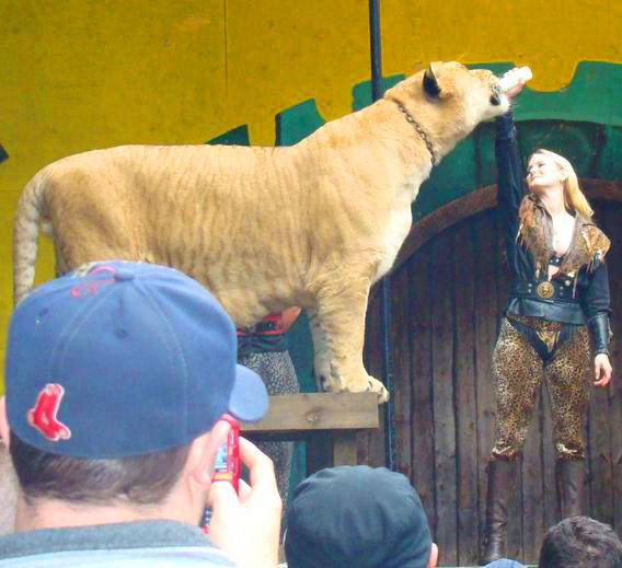Liger Hercules feeding on Milk through a feeder at King Richards Faire.