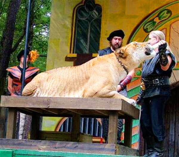 Hercules the liger sitting on a wooden floor at King Richards Faire.