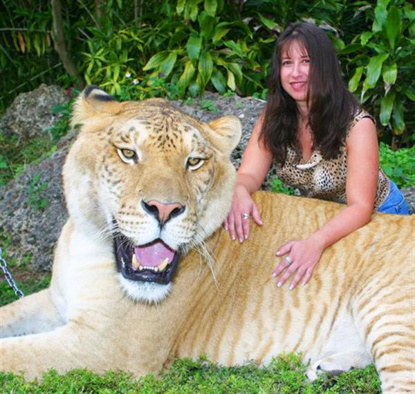 Liger Hercules loves traveling to Miami to meet its brother Vulcan the liger.