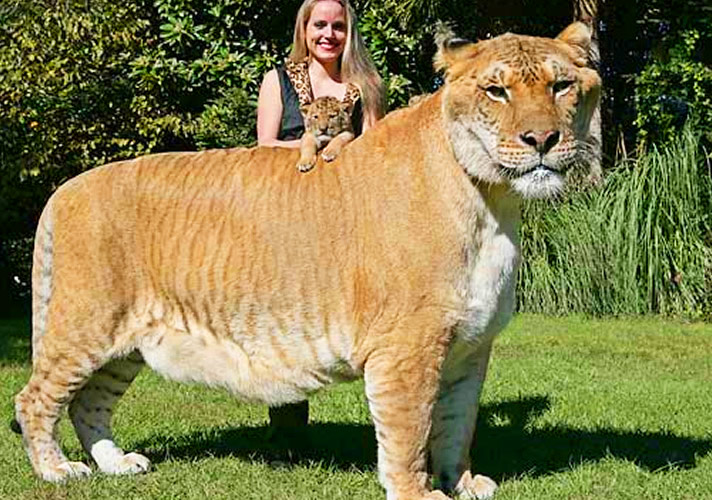 Liger Hercules and Moksha Bybee at the the birth of Aries the liger. Aries is brother of Hercules the liger.