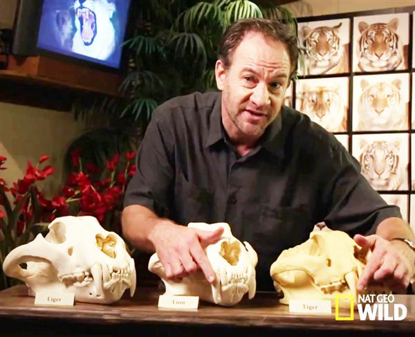 Liger Hercules Skull Size and Bite Force elaborated on National Geographic.