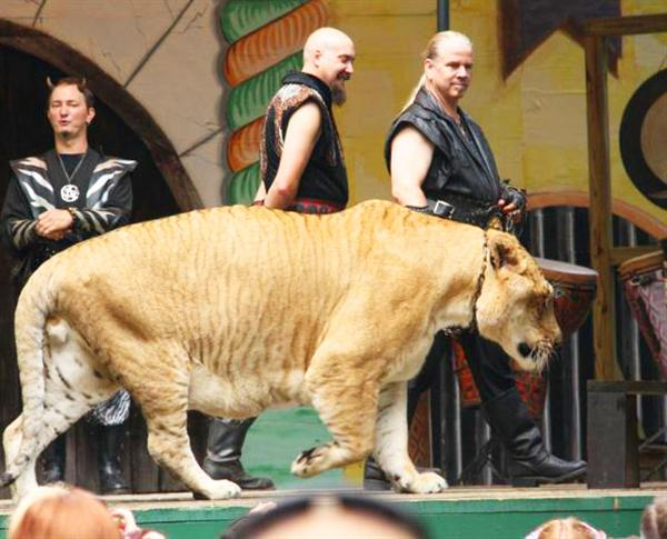 Liger Hercules Picture at King Richards Faire.