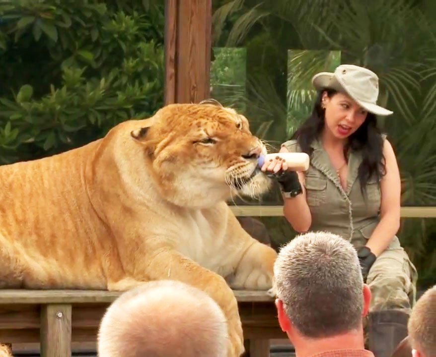 Rajani Ferrante Demonstrating Information about Hercules the liger.