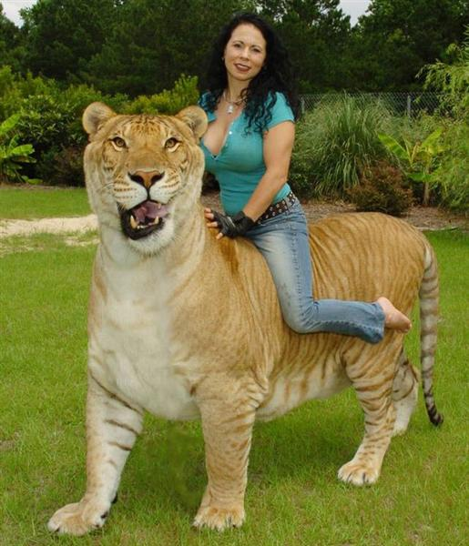 Rajani Ferrante riding on the back of Hercules the liger.