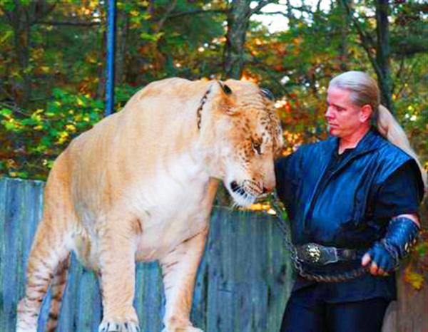 Liger Hercules Size and Weight of 900 Pounds