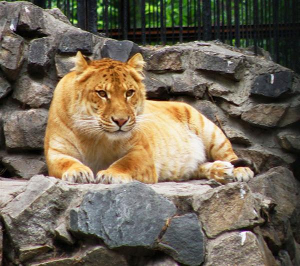 Female Ligers are not sterile. They successfully reproduce.