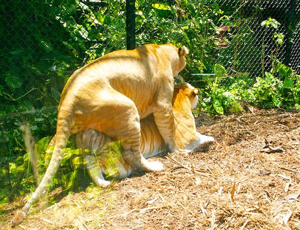 Liger Hercules mating with tabby tiger. Hercules the liger has a strong sexual urge.