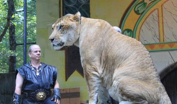Liger Hercules is Six Feet Tall in terms of its height.
