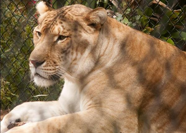 Hercules the liger is very peaceful and calm while traveling.