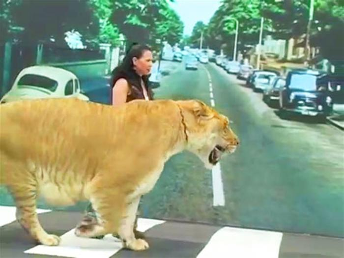 Liger Hercules Traveled London Abbey Road.