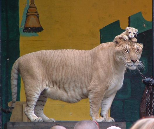 Hercules the liger weighs 922 Pounds.